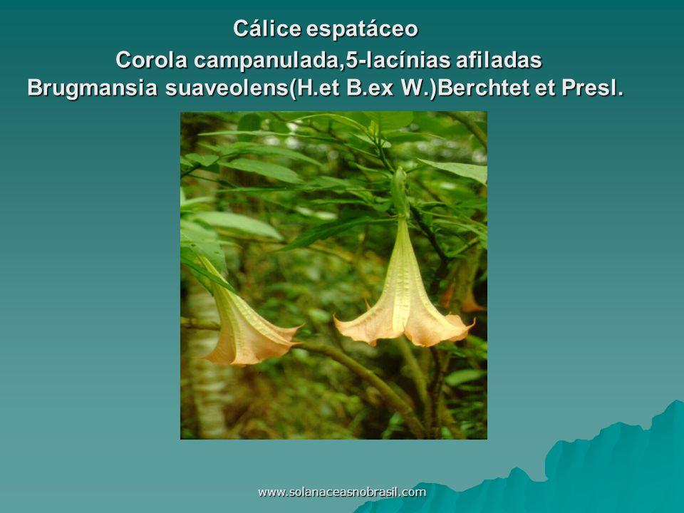 www.solanaceasnobrasil.com Cálice espatáceo Corola campanulada,5-lacínias afiladas Brugmansia suaveolens(H.et B.ex W.)Berchtet et Presl.