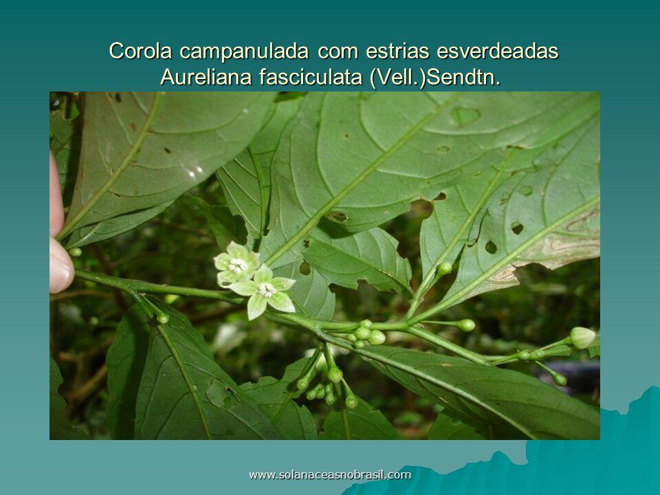 www.solanaceasnobrasil.com Corola campanulada com estrias esverdeadas Aureliana fasciculata (Vell.)Sendtn. Corola campanulada com estrias esverdeadas
