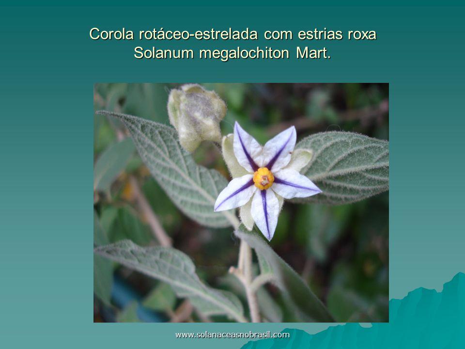 www.solanaceasnobrasil.com Corola rotáceo-estrelada com estrias roxa Solanum megalochiton Mart.