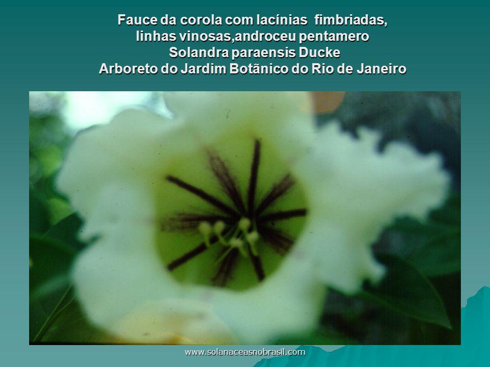 www.solanaceasnobrasil.com Fauce da corola com lacínias fimbriadas, linhas vinosas,androceu pentamero Solandra paraensis Ducke Arboreto do Jardim Botã