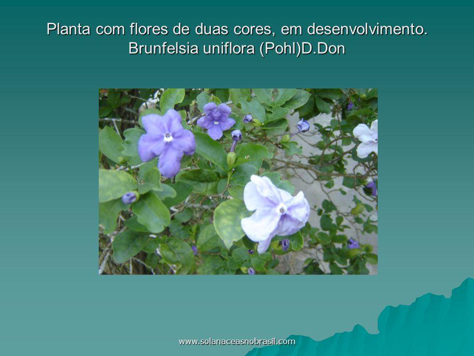 www.solanaceasnobrasil.com Planta com flores de duas cores, em desenvolvimento. Brunfelsia uniflora (Pohl)D.Don