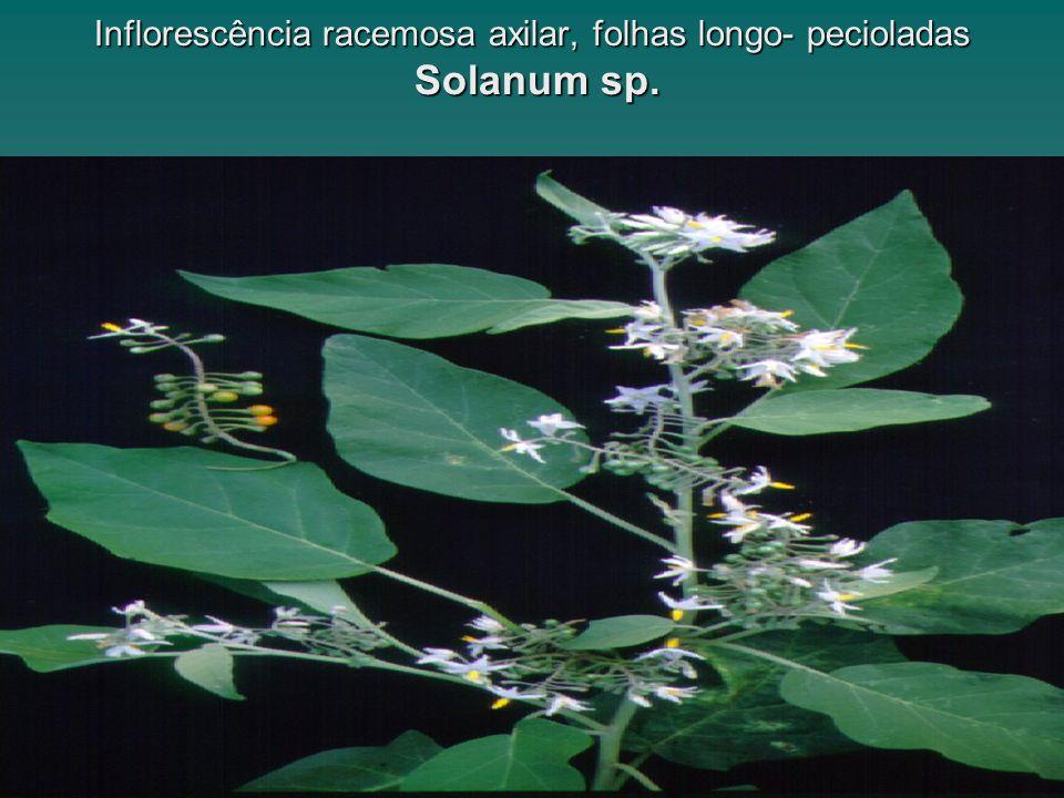 www.solanaceasnobrasil.com Inflorescência racemosa axilar, folhas longo- pecioladas Solanum sp.