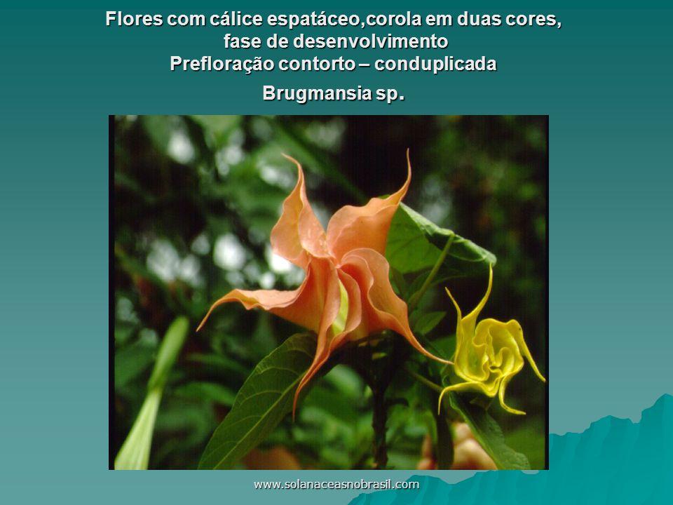 www.solanaceasnobrasil.com Flores com cálice espatáceo,corola em duas cores, fase de desenvolvimento Prefloração contorto – conduplicada Brugmansia sp