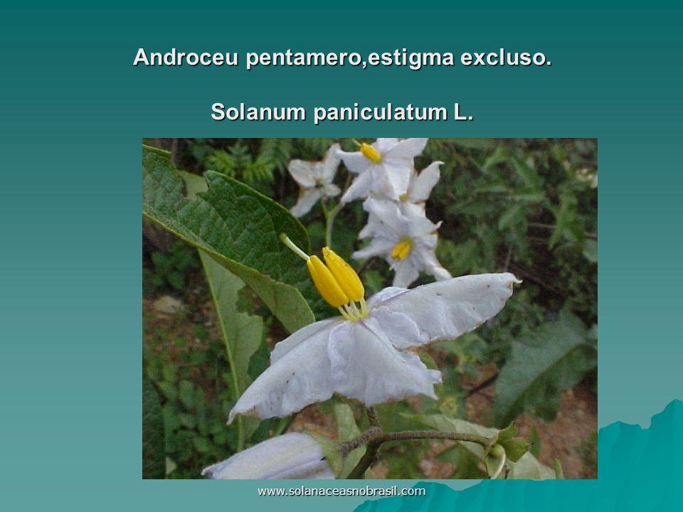 www.solanaceasnobrasil.com Androceu pentamero,estigma excluso. Solanum paniculatum L.