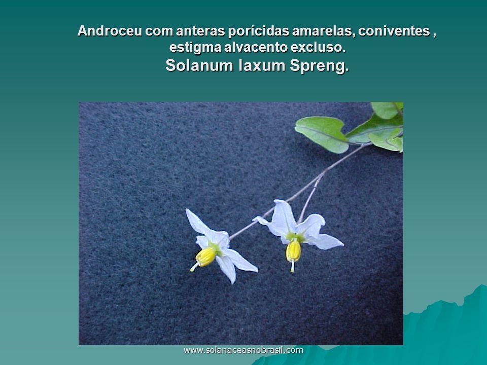www.solanaceasnobrasil.com Androceu com anteras porícidas amarelas, coniventes, estigma alvacento excluso. Solanum laxum Spreng.