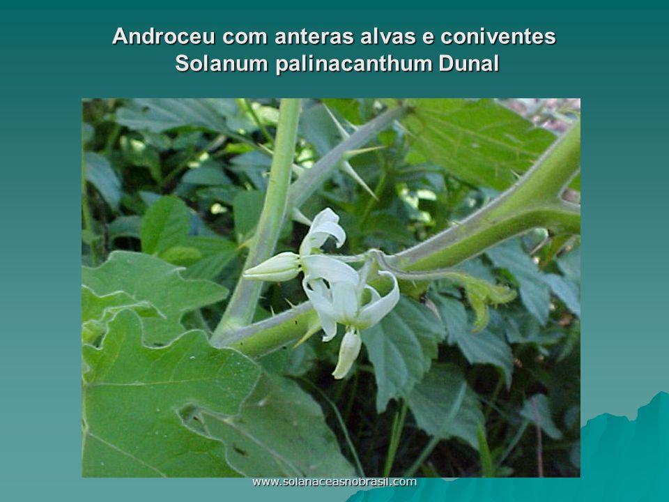 www.solanaceasnobrasil.com Androceu com anteras alvas e coniventes Solanum palinacanthum Dunal