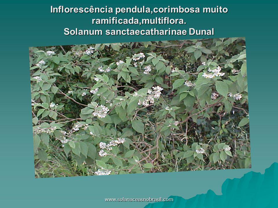 www.solanaceasnobrasil.com Inflorescência pendula,corimbosa muito ramificada,multiflora. Solanum sanctaecatharinae Dunal