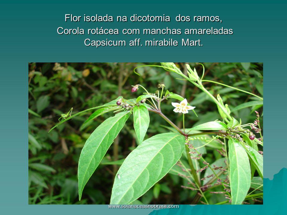 www.solanaceasnobrasil.com Flor isolada na dicotomia dos ramos, Corola rotácea com manchas amareladas Capsicum aff. mirabile Mart.