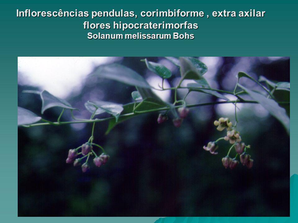 www.solanaceasnobrasil.com Inflorescências pendulas, corimbiforme, extra axilar flores hipocraterimorfas Solanum melissarum Bohs