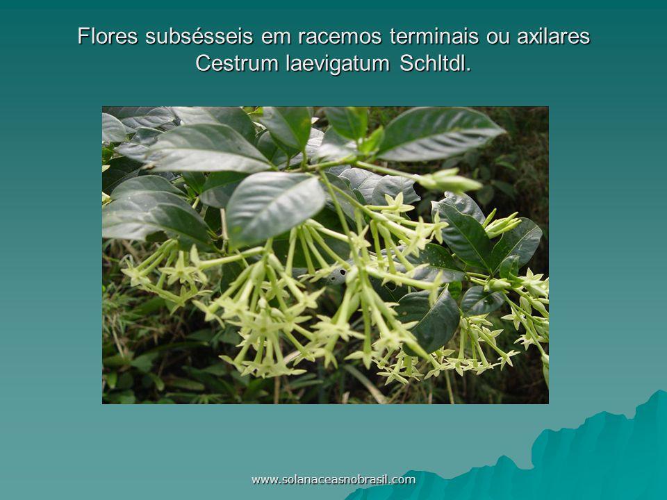 www.solanaceasnobrasil.com Flores subsésseis em racemos terminais ou axilares Cestrum laevigatum Schltdl.