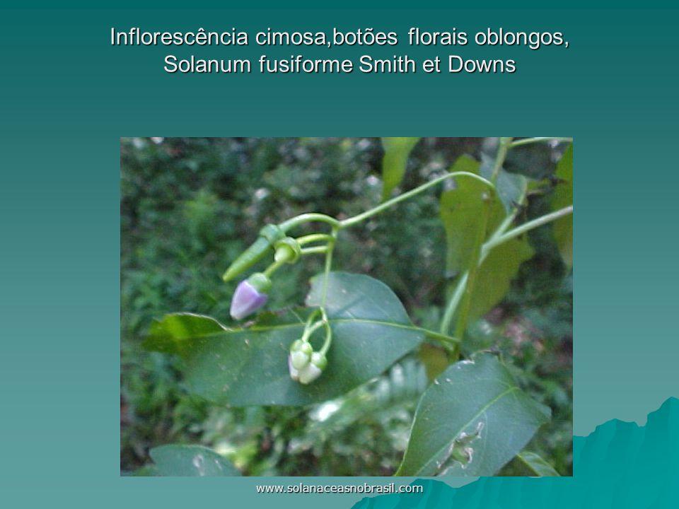 www.solanaceasnobrasil.com Corola infundibuliforme,5-6 lacínias patentes lanceoladas,anteras na fauce da corola Cestrum laevigatum Schltdl.
