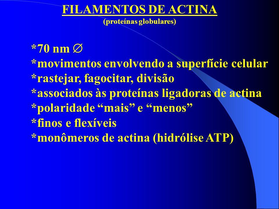 FILAMENTOS DE ACTINA (proteínas globulares) *70 nm  *movimentos envolvendo a superfície celular *rastejar, fagocitar, divisão *associados às proteína