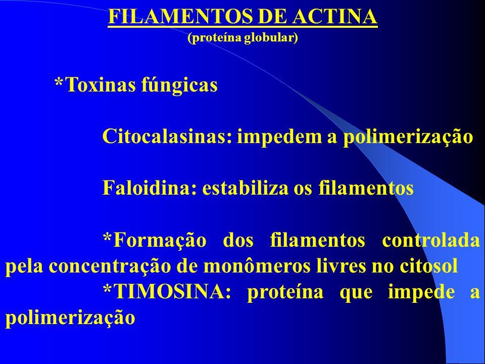 FILAMENTOS DE ACTINA (proteína globular) *Toxinas fúngicas Citocalasinas: impedem a polimerização Faloidina: estabiliza os filamentos *Formação dos fi