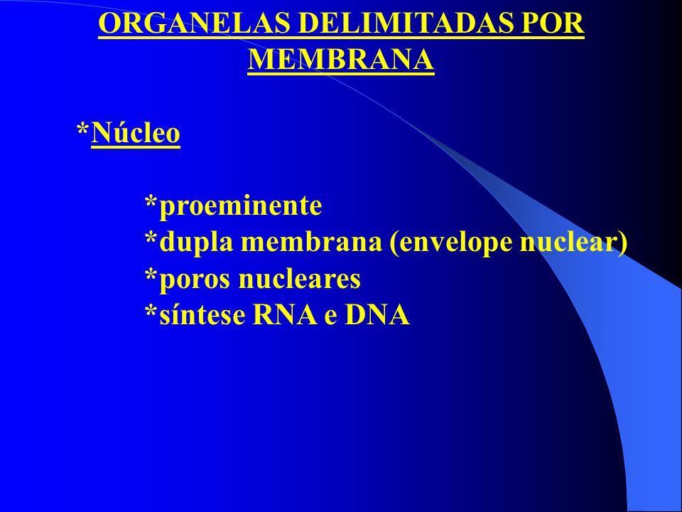 ORGANELAS DELIMITADAS POR MEMBRANA *Núcleo *proeminente *dupla membrana (envelope nuclear) *poros nucleares *síntese RNA e DNA