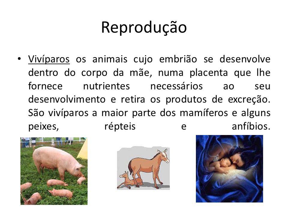 Reprodução Vivíparos os animais cujo embrião se desenvolve dentro do corpo da mãe, numa placenta que lhe fornece nutrientes necessários ao seu desenvolvimento e retira os produtos de excreção.