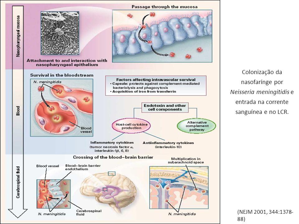 Colonização da nasofarínge por Neisseria meningitidis e entrada na corrente sanguínea e no LCR. (NEJM 2001, 344:1378- 88)