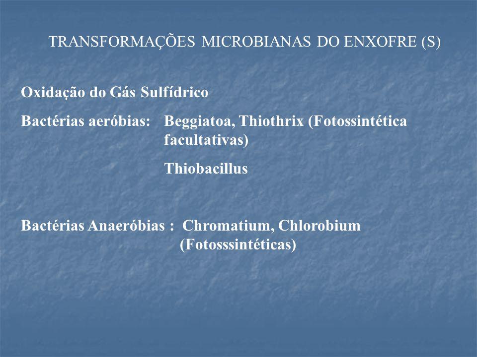 TRANSFORMAÇÕES MICROBIANAS DO ENXOFRE (S) Oxidação do Gás Sulfídrico Bactérias aeróbias:Beggiatoa, Thiothrix (Fotossintética facultativas) Thiobacillus Bactérias Anaeróbias : Chromatium, Chlorobium (Fotosssintéticas)