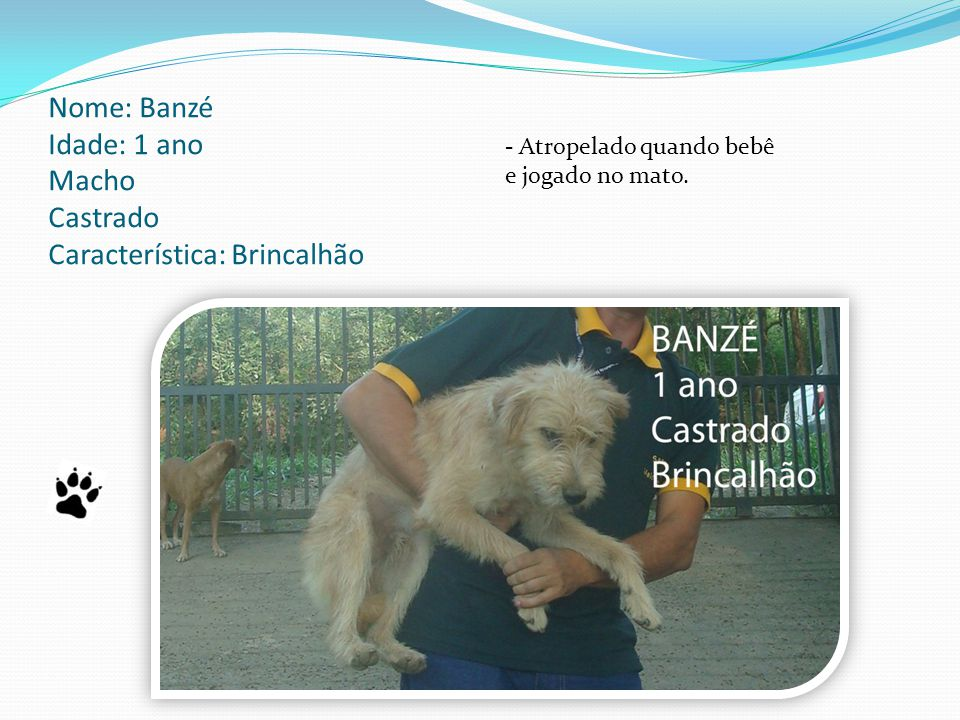 Nome: Banzé Idade: 1 ano Macho Castrado Característica: Brincalhão - Atropelado quando bebê e jogado no mato.