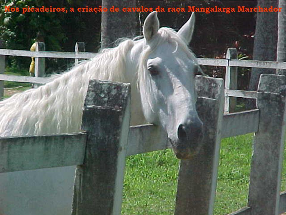 Nos picadeiros, a criação de cavalos da raça Mangalarga Marchador