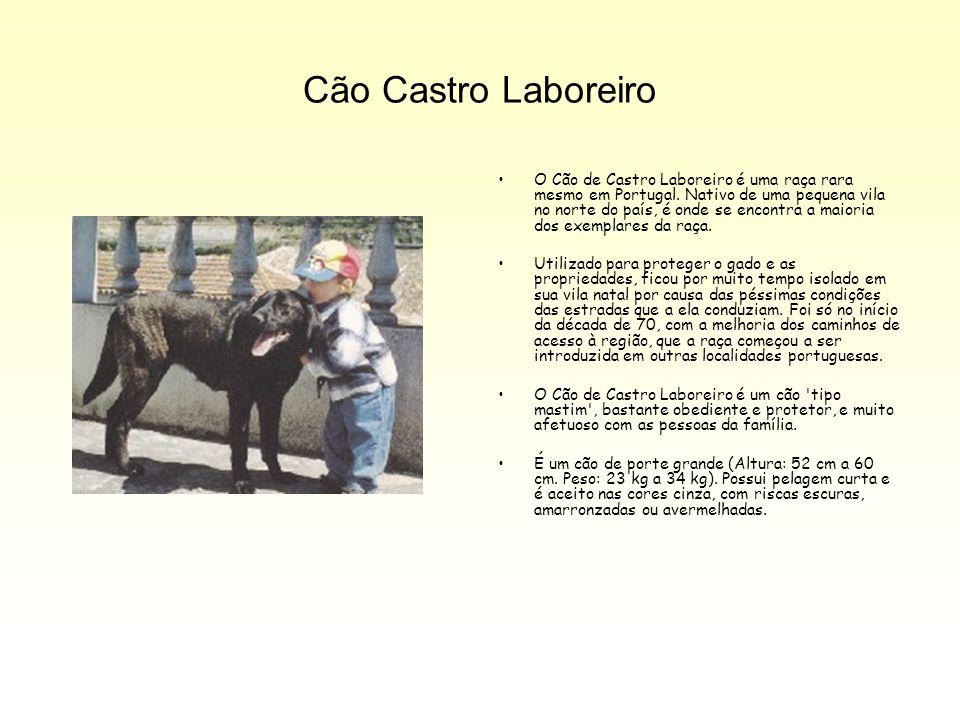 Cão Castro Laboreiro O Cão de Castro Laboreiro é uma raça rara mesmo em Portugal. Nativo de uma pequena vila no norte do país, é onde se encontra a ma
