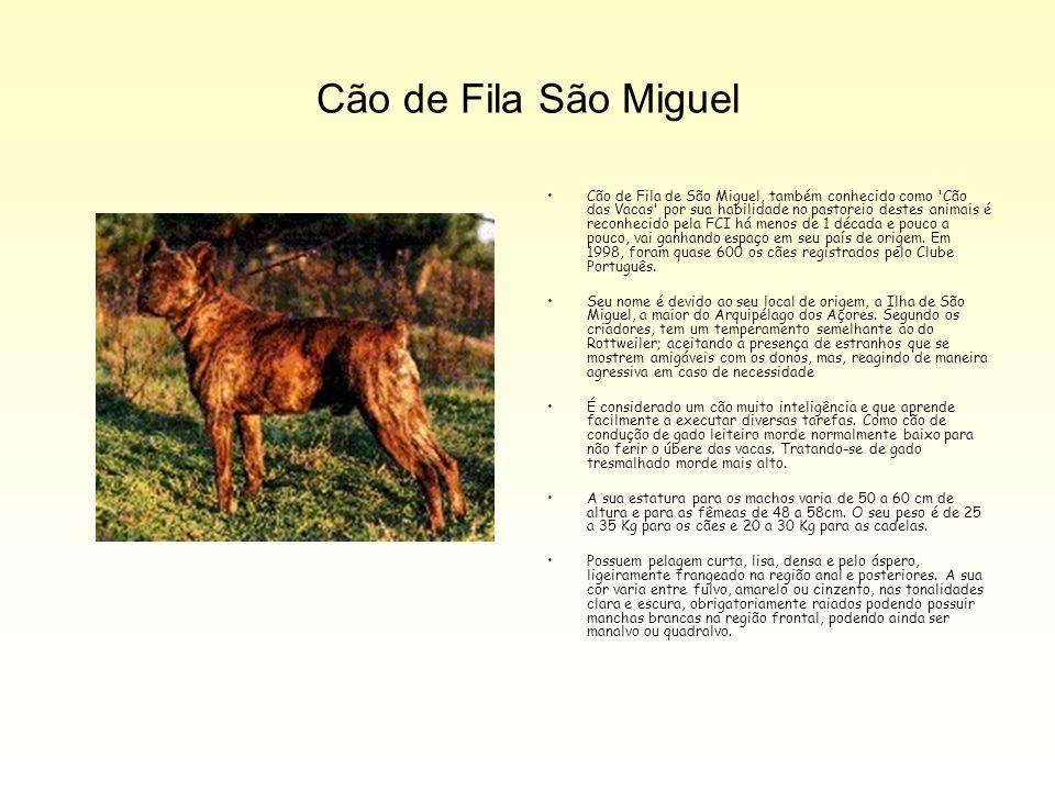 Cão de Fila São Miguel Cão de Fila de São Miguel, também conhecido como 'Cão das Vacas' por sua habilidade no pastoreio destes animais é reconhecido p