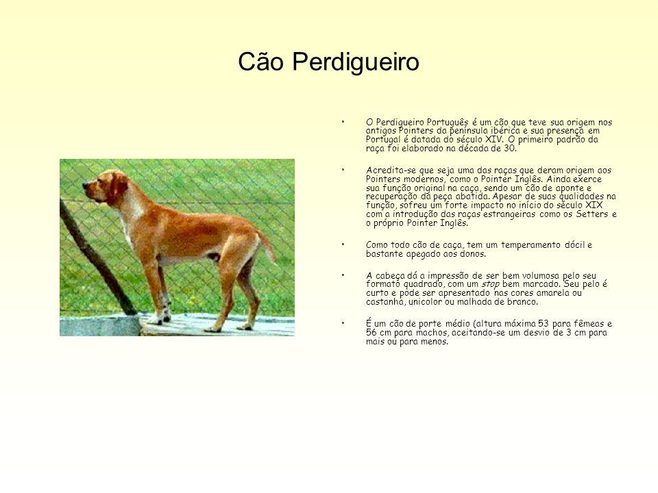 Cão Perdigueiro O Perdigueiro Português é um cão que teve sua origem nos antigos Pointers da península ibérica e sua presença em Portugal é datada do