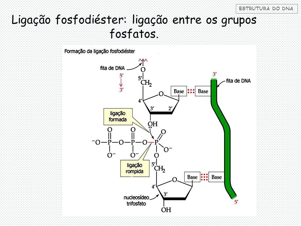 ESTRUTURA DO DNA Ligação fosfodiéster: ligação entre os grupos fosfatos.