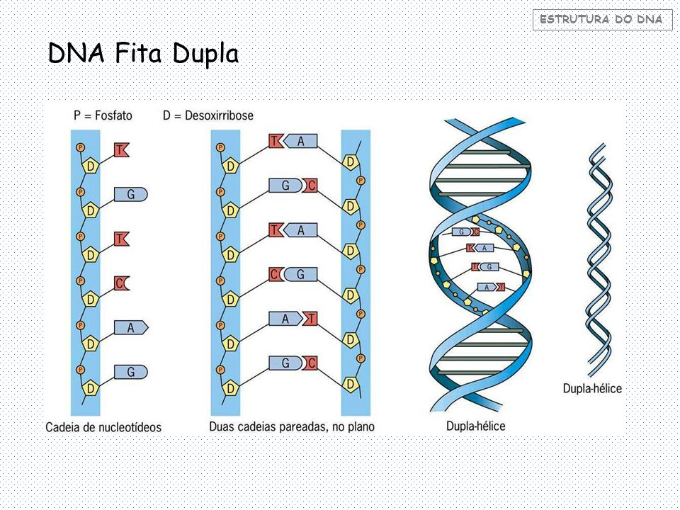 ESTRUTURA DO DNA Cadeias Anti-paralelas: Analisando o conteúdo de uma das fitas, é possível conhecer o conteúdo da outra.