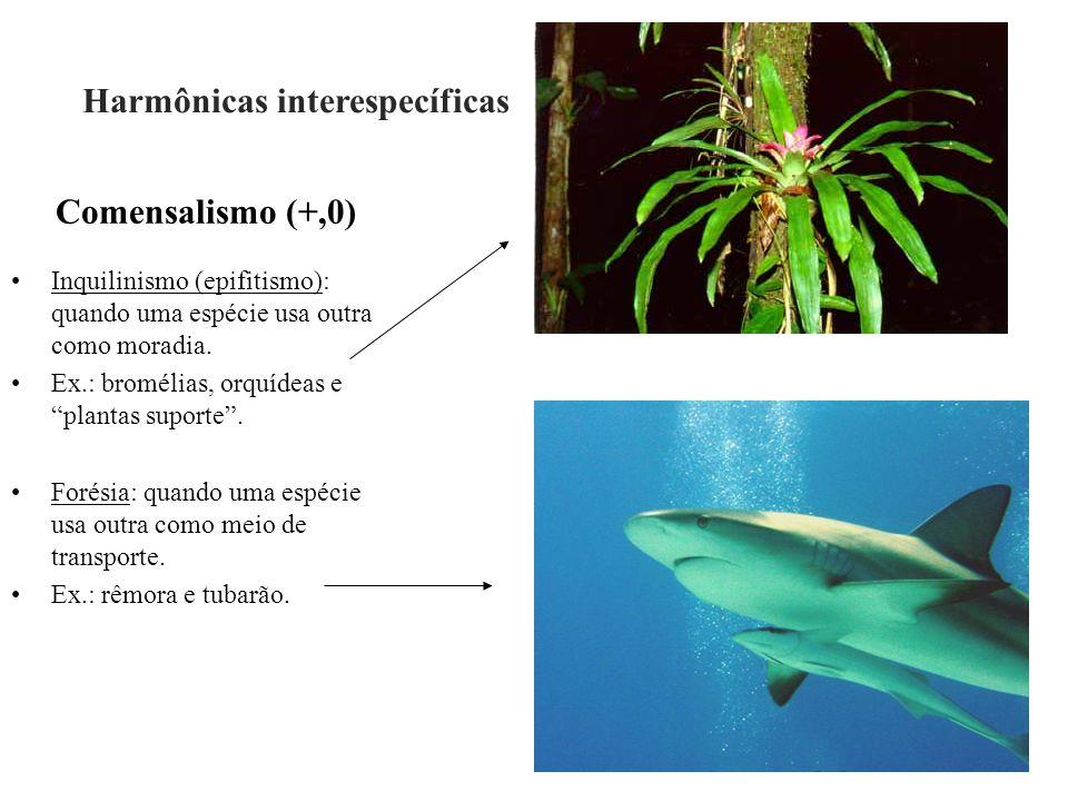 """Comensalismo (+,0) Inquilinismo (epifitismo): quando uma espécie usa outra como moradia. Ex.: bromélias, orquídeas e """"plantas suporte"""". Forésia: quand"""