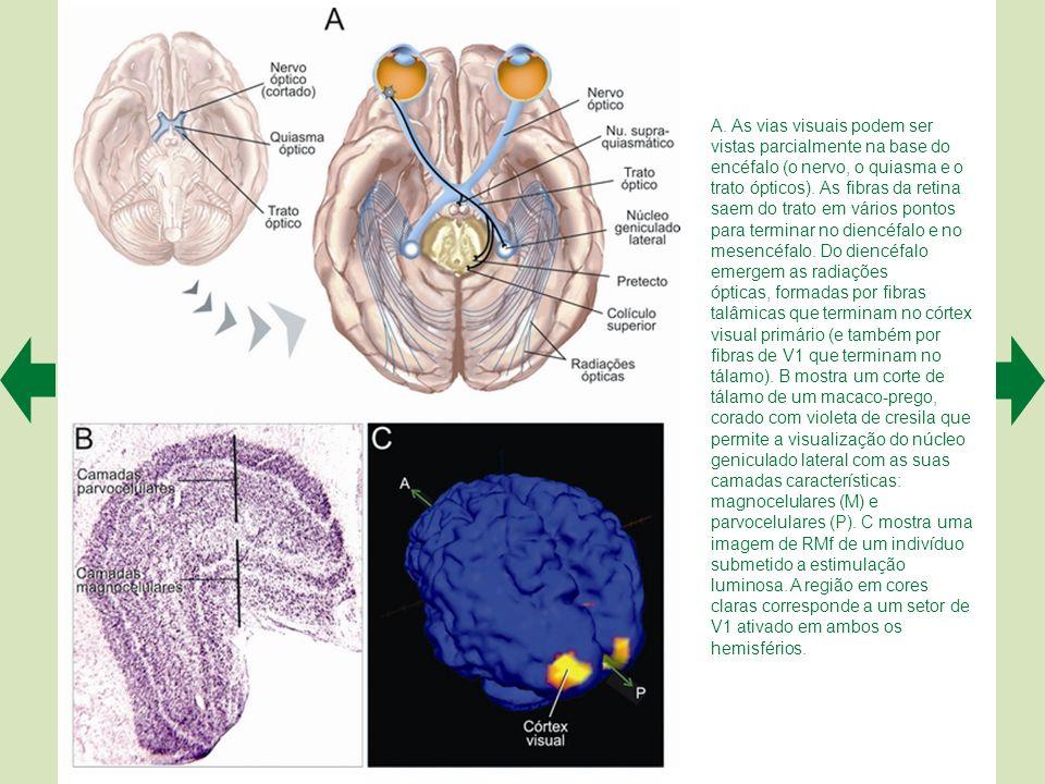 A representa esquematicamente a retina central existente na fóvea (ao centro), em comparação com a retina periférica temporal (à esquerda) e nasal (à