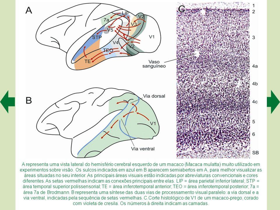 A. As vias visuais podem ser vistas parcialmente na base do encéfalo (o nervo, o quiasma e o trato ópticos). As fibras da retina saem do trato em vári