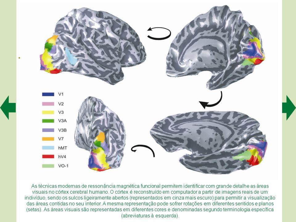 A representa uma vista lateral do hemisfério cerebral esquerdo de um macaco (Macaca mulatta) muito utilizado em experimentos sobre visão. Os sulcos in