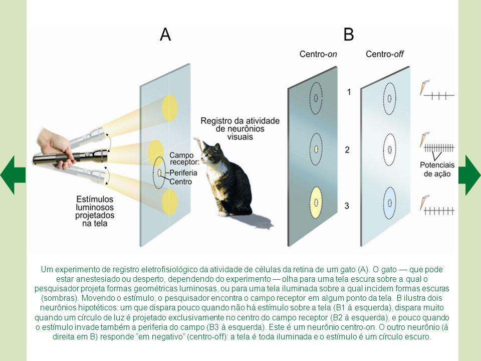 As técnicas modernas de ressonância magnética funcional permitem identificar com grande detalhe as áreas visuais no córtex cerebral humano. O córtex é