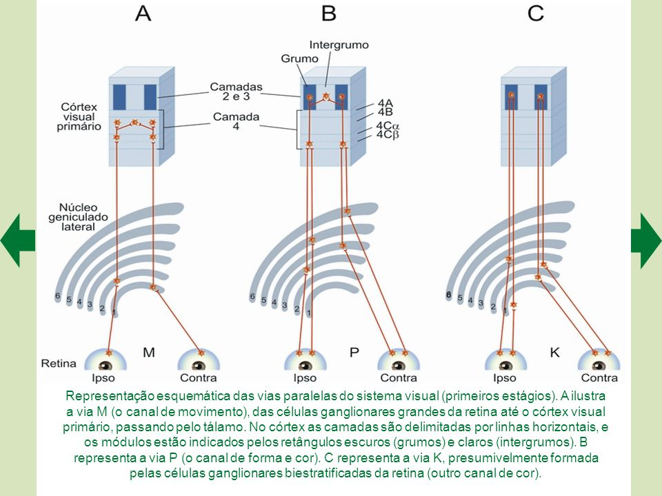 Um experimento de registro eletrofisiológico da atividade de células da retina de um gato (A). O gato — que pode estar anestesiado ou desperto, depend