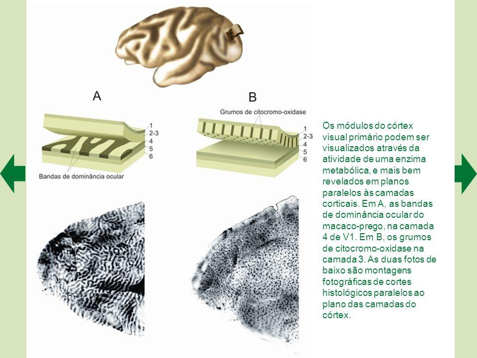 Representação esquemática das vias paralelas do sistema visual (primeiros estágios). A ilustra a via M (o canal de movimento), das células ganglionare