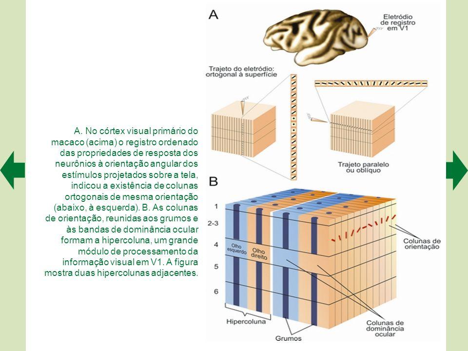Os módulos do córtex visual primário podem ser visualizados através da atividade de uma enzima metabólica, e mais bem revelados em planos paralelos às