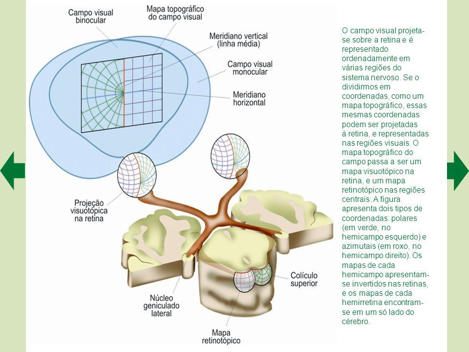 A. No córtex visual primário do macaco (acima) o registro ordenado das propriedades de resposta dos neurônios à orientação angular dos estímulos proje