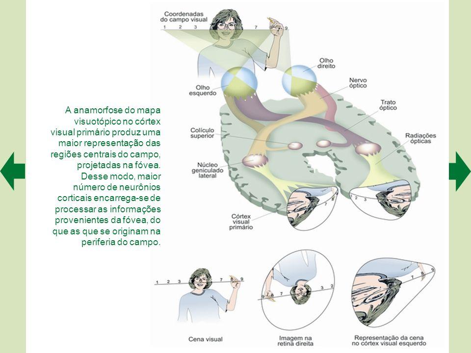 O campo visual projeta- se sobre a retina e é representado ordenadamente em várias regiões do sistema nervoso. Se o dividirmos em coordenadas, como um