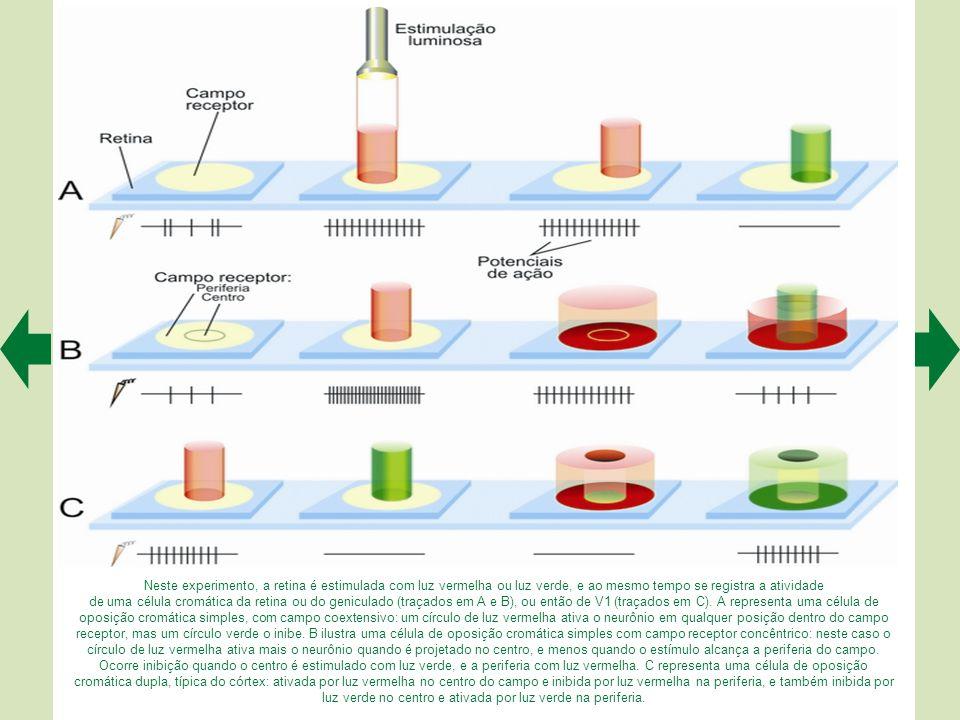 Forma e função das células retinianas codificadoras de cor do canal azul-amarelo. A. Variação da frequência de potenciais de ação de uma célula gangli