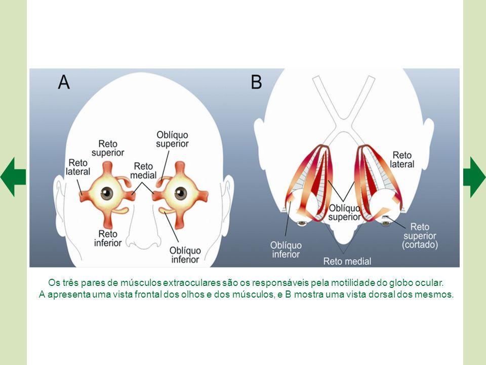 Desde o tempo de Galeno até René Descartes (1596-1650) ainda não se sabia que os nervos ópticos cruzavam parcialmente no quiasma (no centro da figura)