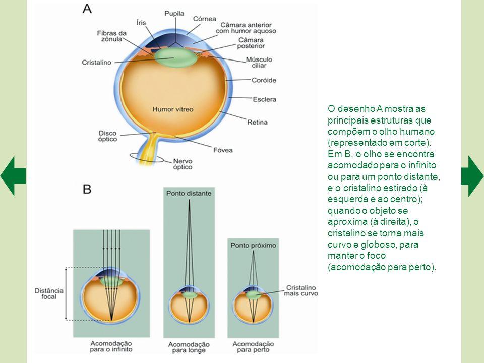 Os três pares de músculos extraoculares são os responsáveis pela motilidade do globo ocular. A apresenta uma vista frontal dos olhos e dos músculos, e