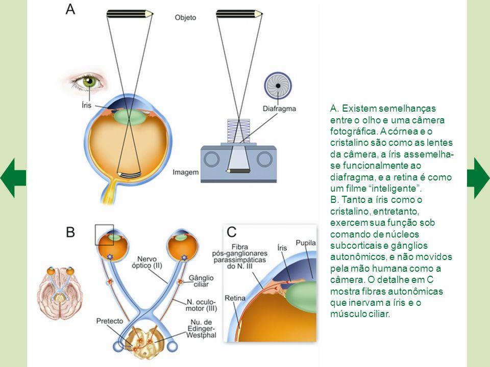 O desenho A mostra as principais estruturas que compõem o olho humano (representado em corte). Em B, o olho se encontra acomodado para o infinito ou p