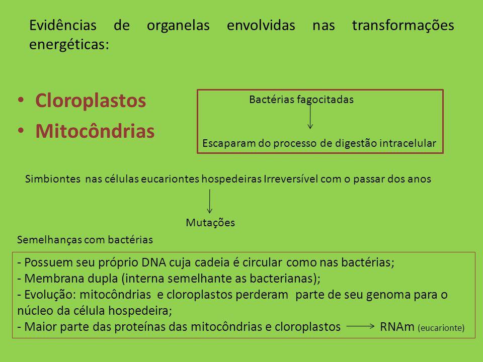 Evidências de organelas envolvidas nas transformações energéticas: Cloroplastos Mitocôndrias Bactérias fagocitadas Escaparam do processo de digestão i