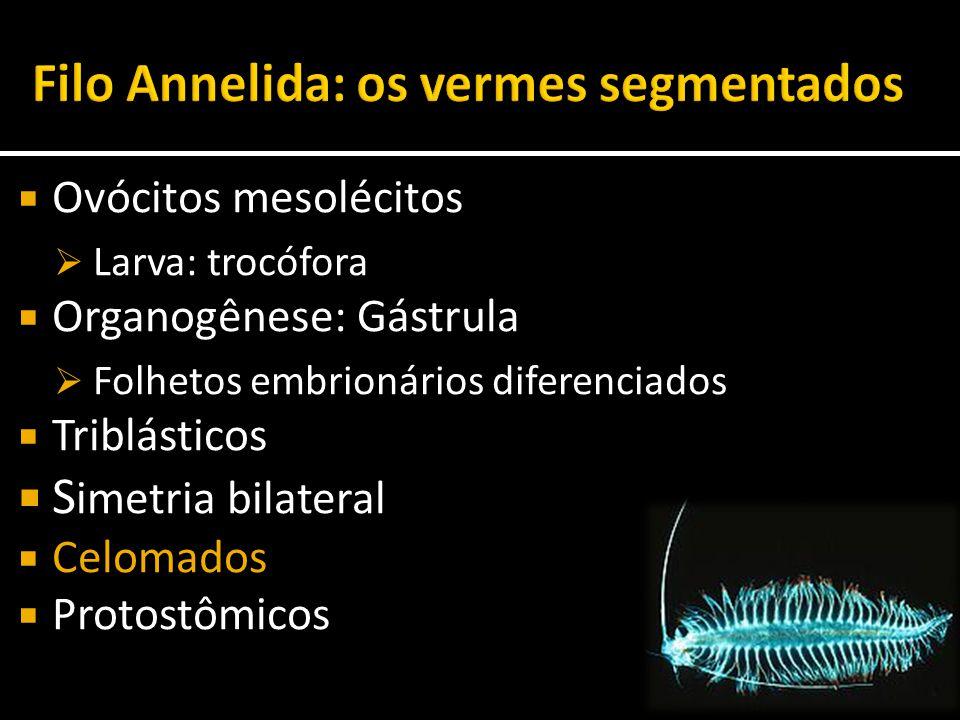  Ovócitos mesolécitos  Larva: trocófora  Organogênese: Gástrula  Folhetos embrionários diferenciados  Triblásticos  S imetria bilateral  Celoma