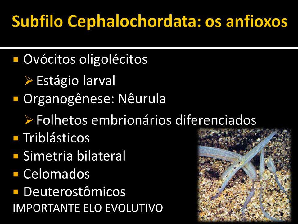  Ovócitos oligolécitos  Estágio larval  Organogênese: Nêurula  Folhetos embrionários diferenciados  Triblásticos  Simetria bilateral  Celomados