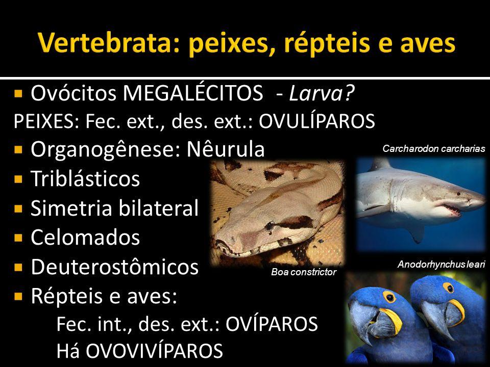  Ovócitos MEGALÉCITOS - Larva? PEIXES: Fec. ext., des. ext.: OVULÍPAROS  Organogênese: Nêurula  Triblásticos  Simetria bilateral  Celomados  Deu