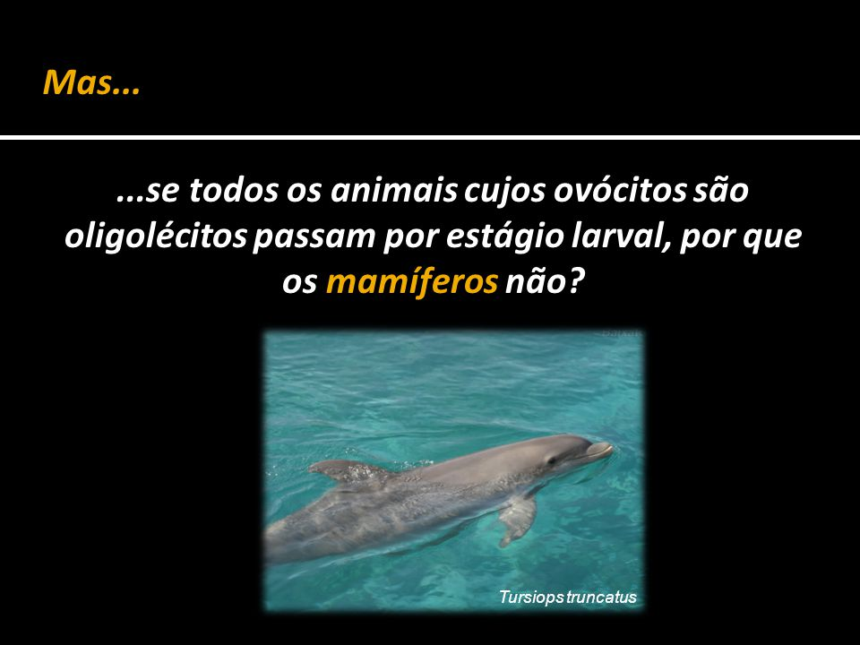 ...se todos os animais cujos ovócitos são oligolécitos passam por estágio larval, por que os mamíferos não? Mas... Tursiops truncatus