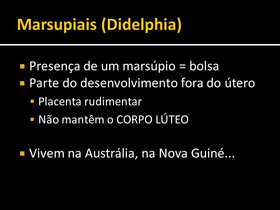  Presença de um marsúpio = bolsa  Parte do desenvolvimento fora do útero  Placenta rudimentar  Não mantêm o CORPO LÚTEO  Vivem na Austrália, na N