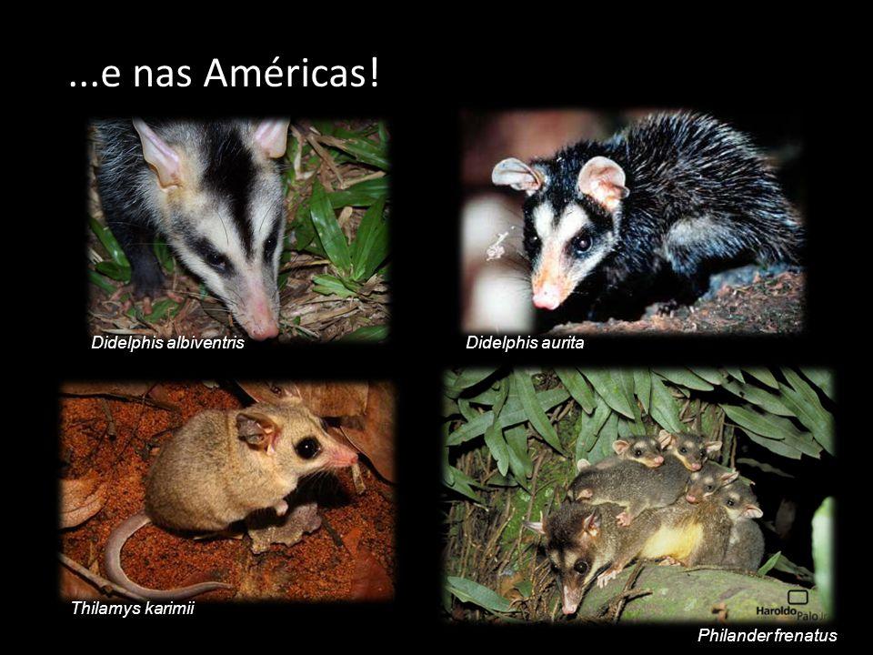 ...e nas Américas! Didelphis albiventris Philander frenatus Thilamys karimii Didelphis aurita