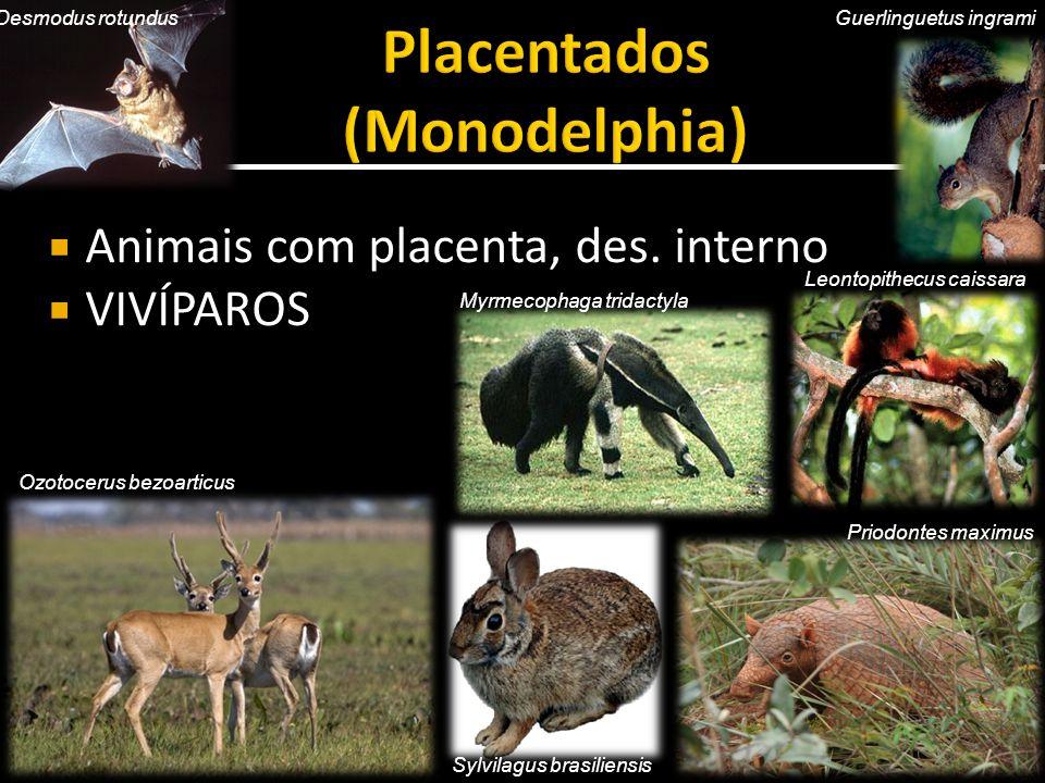  Animais com placenta, des. interno  VIVÍPAROS Myrmecophaga tridactyla Desmodus rotundus Leontopithecus caissara Sylvilagus brasiliensis Guerlinguet